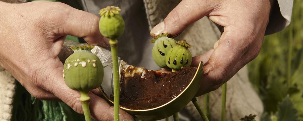 опиум получают из маковых стеблей и коробочек